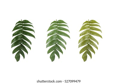 Green leaf of Philodendron isolated on white background