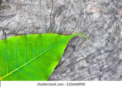 Green leaf Pho leaf, (bo leaf, bodhi leaf) on old wood floor.