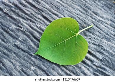 Green leaf Pho leaf, (bo leaf, bodhi leaf) on old wood floor