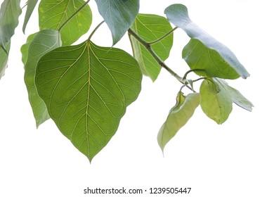 Green leaf Pho leaf, (bo leaf,bothi leaf) isolated on white background.Closeup Isolated Leaves on white backgrounds.Isolated Leaves on white backgrounds