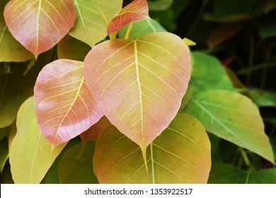 Green leaf Pho leaf, (bo leaf,bothi leaf)