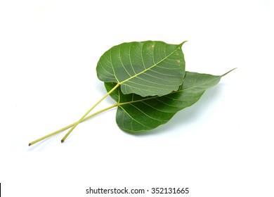 Green leaf Pho leaf, (bo leaf,bothi leaf) isolated on white background