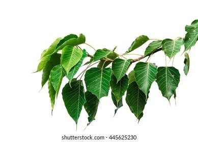 Green leaf Pho leaf, (bo leaf,bothi leaf) solated on white background.