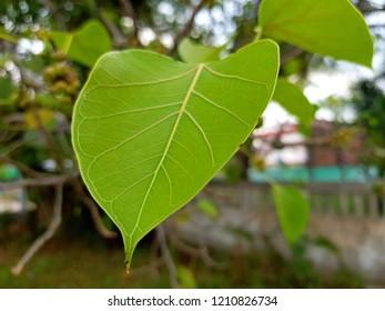 Green leaf Pho leaf,bo leaf nature background.
