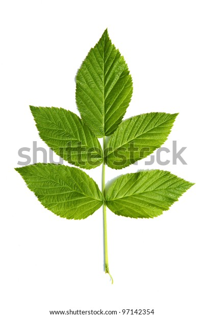 Green leaf of a plant isolated on white