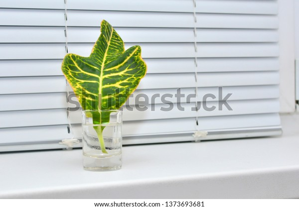 Green Leaf Plant Stands On Windowsill Stock Photo Edit Now