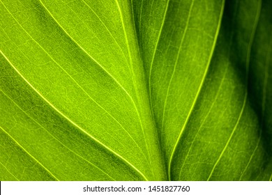 green leaf of the plant with the structure of nutrient vessels, the biochemistry of photosynthesis, processing of carbon dioxide by plants and the release of oxygen, plant respiration, chlorophyll