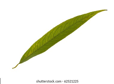 green leaf of pusy willow tree isolated on white background