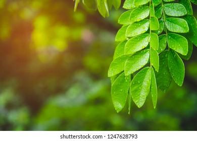 green leaf rain tree (samanea saman) water drops / bokeh and blur background