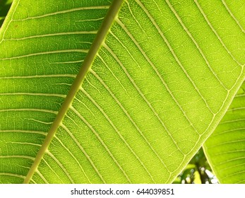 Green leaf, rainy morning