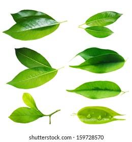 Green leaf set isolated on white background.