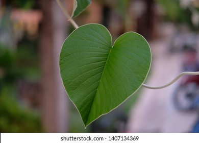 Green leaf shaped like a large heart. with blur background.
