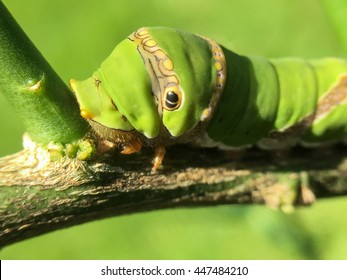 The green leaf and small green worm of common jay butterfly