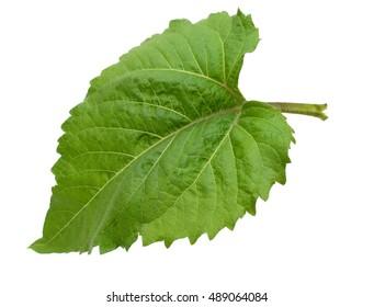 green leaf of sunflower bush isolated on white background