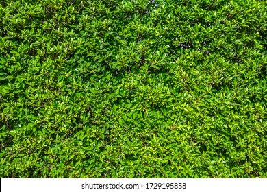 Green Leaf Surface as Background