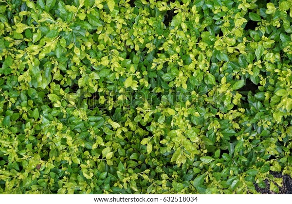 a lot of green leaf texture background