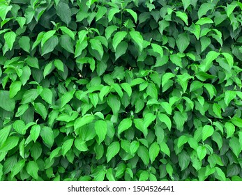 Green leaf texture. Leaf texture background. Close up saturated plants