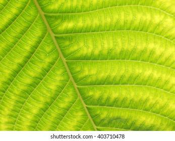 green leaf texture closeup
