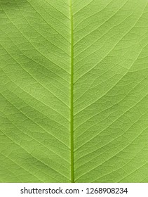 green leaf texture ( Golden shower, Indian laburnum, Pudding-pine tree, Purging Cassia