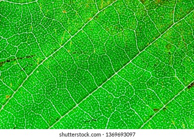 Green leaf texture, macro. Abstract natural background