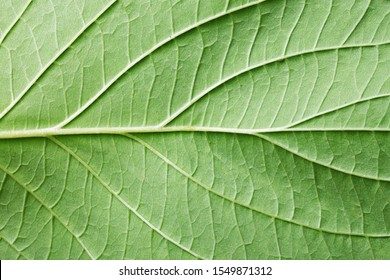 Green leaf texture. Natural enviroment vibrant background. Plant macro veins pattern.