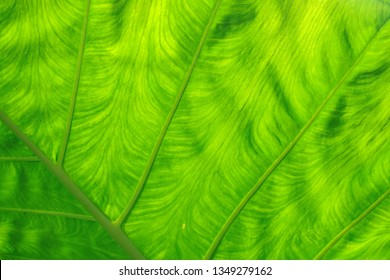 Green leaf texture for pattern and background