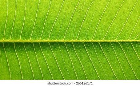 green leaf texture of the Plumeria tree