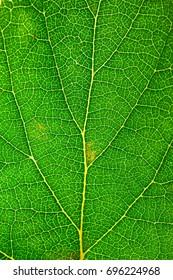 Green leaf texture. Leaf skeleton background.