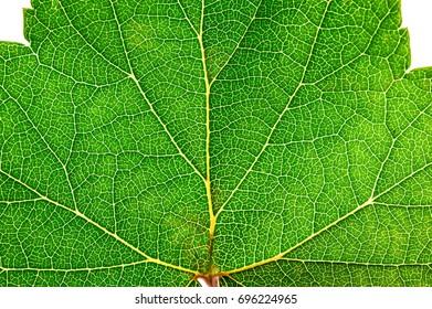 Green leaf texture. Leaf skeleton structure background.