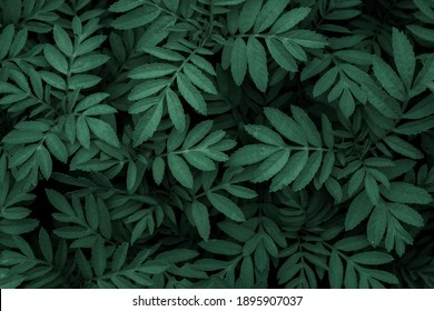 Green leaf texture,Green leaves pattern background.Natural background and wallpaper.