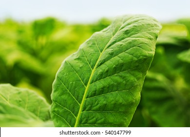 Green leaf tobacco in a blurred tobacco field background, close up. Tobacco big leaf crops growing in tobacco plantation field