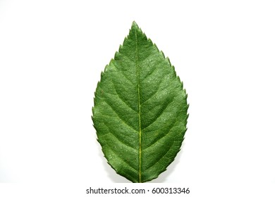 Green leaf. Top view.