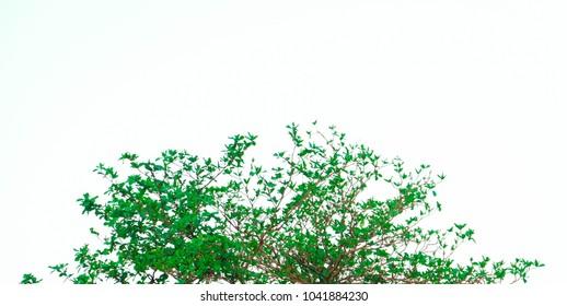 Green leaf tree beautiful white background