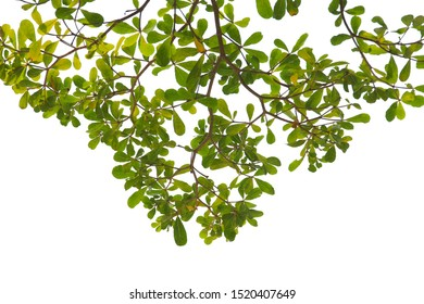 green leaf or tree branch isolated on white background and with clipping path.
