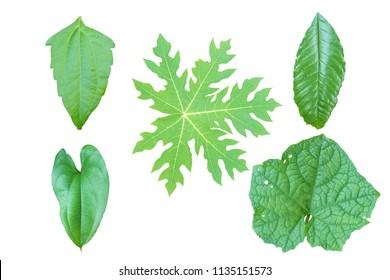 green leaf of tree  isolate on a white background