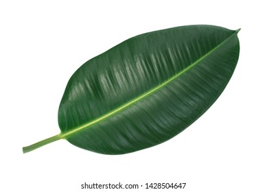 Green leaf of a tropical flower ficus elastica isolated on white background without shadows (high details).
