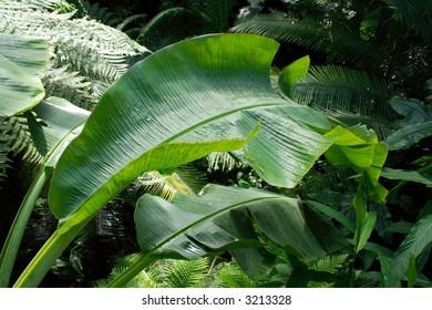 Green Leaf of Tropical Plant