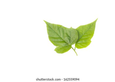 Green leaf two on white background