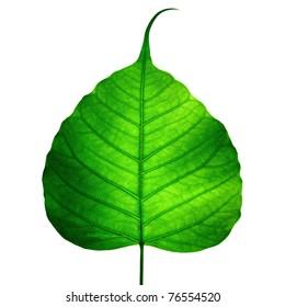 green leaf vein ( bodhi leaf ) on white background