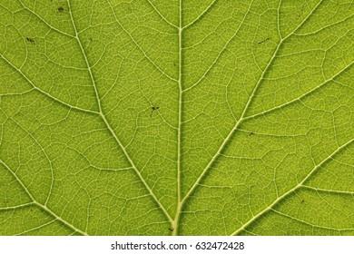 green leaf vein texture background