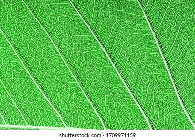 green leaf veined macro shot. background for design