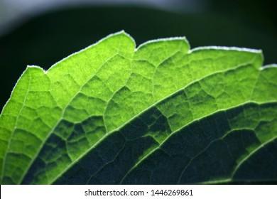green leaf veins close up image