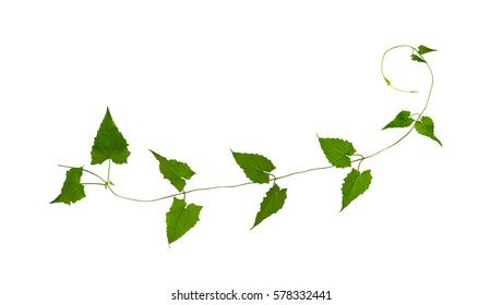 Green leaf vines isolated on white background,