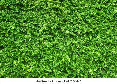 Green leaf wall background.