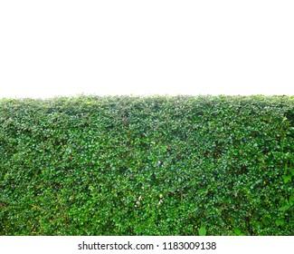 Green leaf wall Streblus asper Lour on a white background.