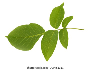 green leaf of walnut on a white background