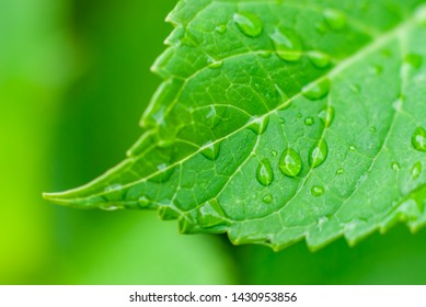 Green Leaf with Water Drops / Macro