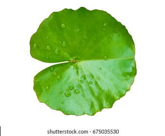 green leaf water lily and water on leaf isolated on a white background