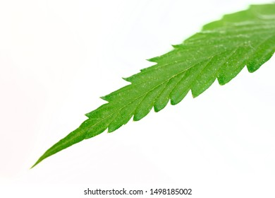 Green leaf of wild hemp cannabis on a white background. Psychotropic substances and pain medication in medicine. Shallow depth of field.