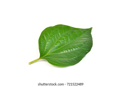 Green leaf of Wildbetal Leafbush (Piper sarmentosum) isolated on white, Thai Herb